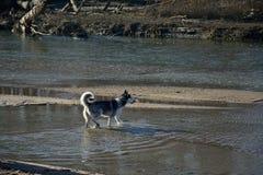 Siberian husky in a river. Siberian husky going in the river Stock Photo
