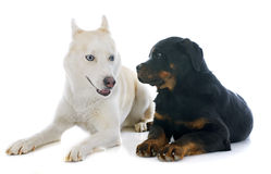 Siberian husky and rottweiler Royalty Free Stock Photography