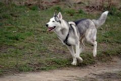 Siberian husky is running stock photography