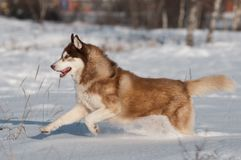 Siberian husky running in the snow Stock Photography