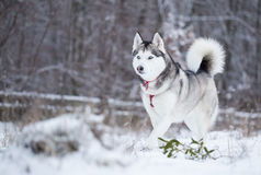 Siberian husky runs on fresh snow. Royalty Free Stock Photos
