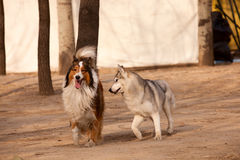 Siberian Husky and Scotland shepherd dog. Siberian Husky play with Scotland shepherd dog Royalty Free Stock Images
