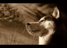 Siberian husky in sepia. With clouds above; infra-red photo Stock Photography