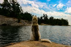 Siberian Husky on the shores of lake looking very majestic. Siberian Husky on the shores of lake stock photos