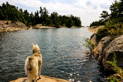 Siberian Husky on the shores of lake looking very majestic. Siberian Husky on the shores of lake royalty free stock photos