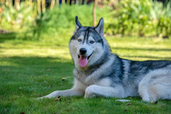 Siberian Husky. The Siberian Husky rests. On the grass Stock Photography