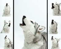 Siberian husky  sings Stock Photo