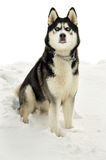 Siberian husky sits isolated in winter Royalty Free Stock Photo
