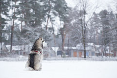 Siberian Husky sits on snow back to photographer. Royalty Free Stock Photography