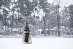 Siberian Husky sits on snow back to photographer. Stock Photos