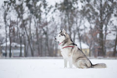 Siberian husky sits on snow in field. Royalty Free Stock Photo