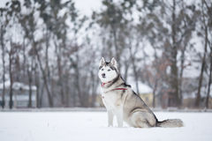 Siberian husky sits on snow in field. Royalty Free Stock Photography