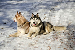 Siberian husky sitting. In the snow on a winter day Stock Photo