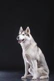 Siberian husky Stock Photo