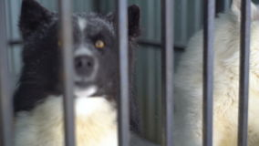 Siberian husky sitting in a cage. Russia stock footage