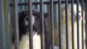 Siberian husky sitting in a cage stock footage