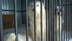 Siberian husky sitting in a cage stock video