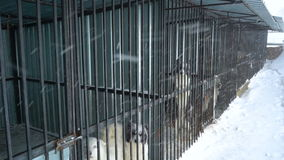 Siberian husky sitting in a cage stock video footage