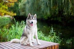 Siberian husky sitting Royalty Free Stock Image