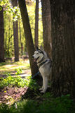 Siberian husky sitting in the shade of a tree Royalty Free Stock Photos