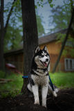 Siberian husky sitting in the shade of a tree Royalty Free Stock Photo