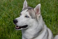 Siberian husky is sitting on a spring green meadow. Close up. Stock Photo