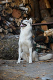 Siberian husky sitting in the woodpile of firewood Royalty Free Stock Photo