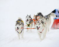 Siberian husky sled. At winter championships Stock Images
