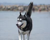 Siberian Husky Sled Dog at the Beach. Tail in the Air. A Siberian Husky walking on the beach. Tail in the air. Dog Beach San Diego, California royalty free stock photo