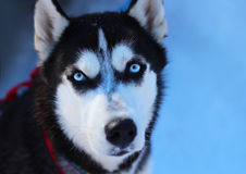Siberian Husky. Sled dog breed Siberian Husky Royalty Free Stock Images