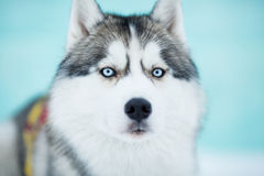 Siberian husky sled dog closeup Stock Images