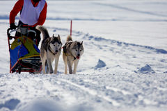 Siberian husky sled dog. Group of sled dogs running through lonely winter landscape royalty free stock photo