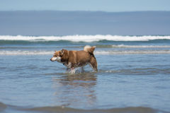 Siberian Husky Sled Dog Playing at the Beach. A Siberian Husky playing in the ocean at the beach stock image
