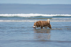 Siberian Husky Sled Dog Playing at the Beach. A Siberian Husky playing in the ocean at the beach royalty free stock image
