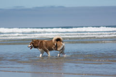 Siberian Husky Sled Dog Playing at the Beach. A Siberian Husky playing in the ocean at the beach royalty free stock photo