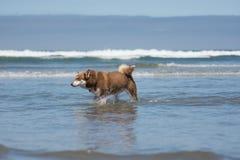 Siberian Husky Sled Dog Playing na praia Imagem de Stock