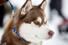 Siberian husky sled dog Stock Image