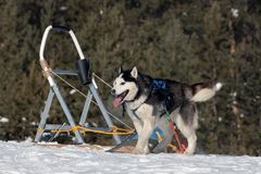siberian husky sled dog relaxing after hard working among winter forest royalty free stock photos