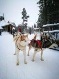 Siberian husky sledding. Dog sledding fun activity on winter Royalty Free Stock Image