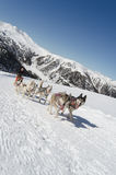 Siberian husky sleddog in Alps. Stock Photos