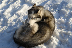 Siberian Husky sleeping in the snow Stock Photos
