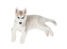 Siberian husky small 2 months isolated on white background Royalty Free Stock Image