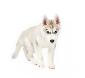 Siberian husky small 2 months isolated on white background Stock Images