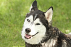 Siberian Husky with smirking face Stock Images