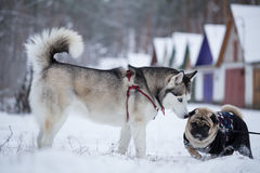Siberian husky sniffs pug. Royalty Free Stock Photos