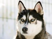 Siberian Husky in the Snow stock image