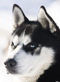 Siberian Husky in the Snow Royalty Free Stock Image