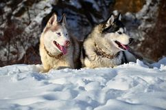 Siberian husky in the snow. Siberian husky sitting in the snow on a winter day Stock Photos