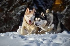 Siberian husky in the snow. Siberian husky sitting in the snow on a winter day Royalty Free Stock Photo