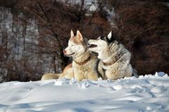 Siberian husky in the snow. Siberian husky sitting in the snow on a winter day Royalty Free Stock Images